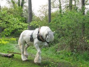1024px-Shire_horse